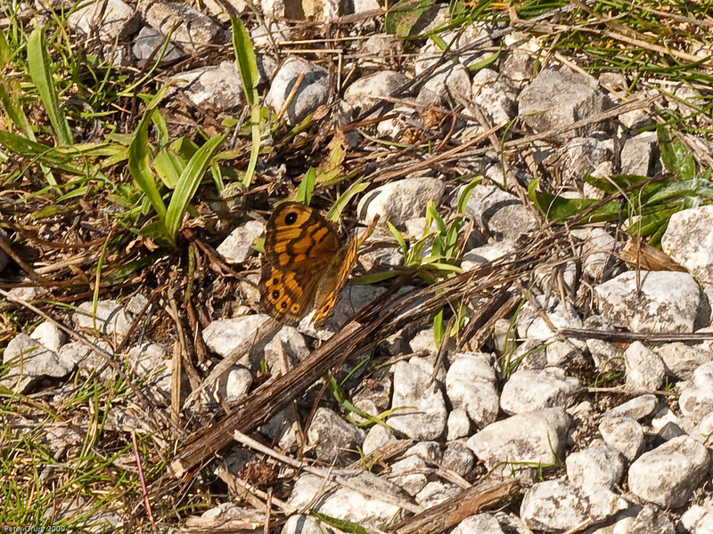 Wall Brown (Lasiommata megera). Copyright 2009 Peter Drury