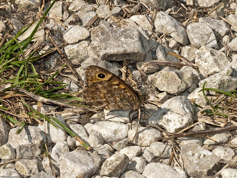 Wall Brown (Lasiommata megera). Copyright 2009 Peter Drury