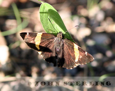 Arizona Banded Skipper