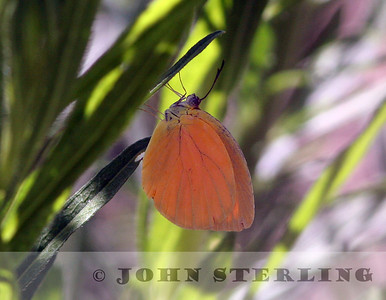 Orange-tailed Sulphur