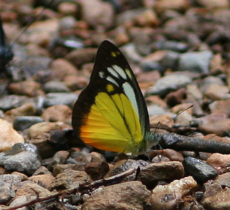 Sterling's Thailand Butterflies