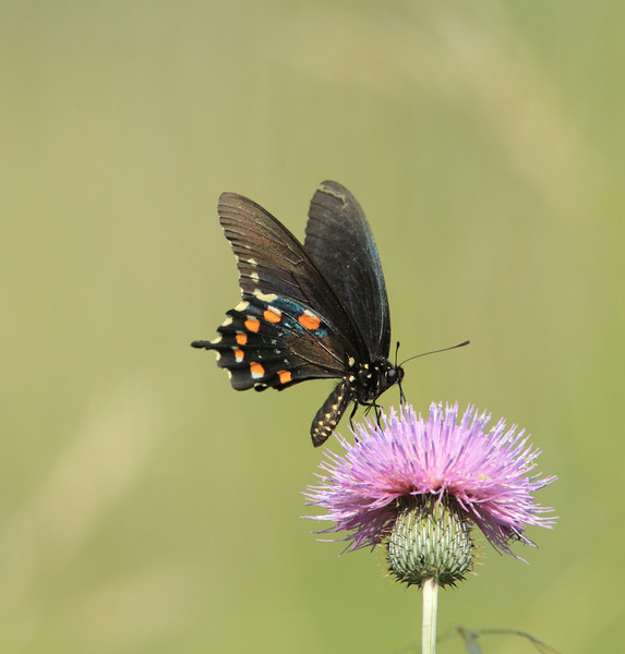 Pipevine Swallowtail Butterfly on a Texas thistle.