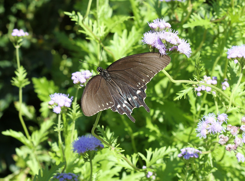 Pipevine Swallowtail Butterfly (female)