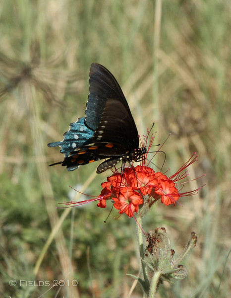 Pipevine Swallowtail Butterfly on a Devil's Bouquet flower.