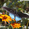 Pipevine Swallowtail Butterfly (male)