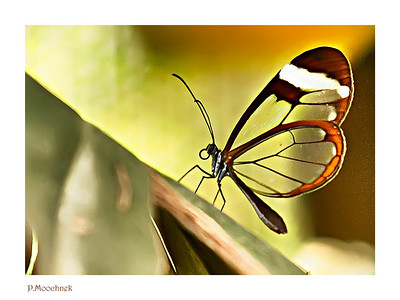 Glasswing Butterfly(Greta Oto) is a brush-footed butterfly where its wings are transparent. The tissue between the veins of its wings looks like glass. They are found in the range which extends throughout Central America into Mexico. 10 more pics after the jump.