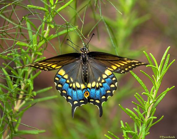 Beautiful Swallowtail