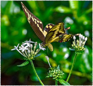 Local back yard resident Palamedes Swallowtail