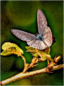 1 Inch Butterfly on Oil