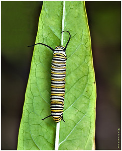 "To Be A Monarch Butterfly   Here you see several Monarch larvae, or caterpillars, eating milkweed. In the wild you won't find more than 1 or 2 on a plant, but in captivity the population density can become very high. They get along together quite well. Milkweed is the Monarch larva's only food. The plant's thick, glue-like sap is poisonous to most creatures. The Monarch assimilates the poisons into its own tissues, making it an unpleasant mouthful to birds and many other insect eaters.  The caterpillars of many butterflies and moths are commonly known as ""worms"", even though they really aren't worms at all. For example, the ""cabbage worm"" is actually the larva of the common white butterflies you see everywhere. The ""tomato worm"" and ""tobacco worm"" are the larvae of hawk moths, also known as sphinx moths, which are about the size of hummingbirds and hover similarly when feeding on nectar. ""Apple worms"" grow up to become small moths. ""Corn earworms"" become medium-sized moths.  Most varieties of larvae are difficult to raise in captivity. They wander away from their food plants and become lost, or they have difficulty getting along with one another. The Monarch doesn't do those things, so it is one of the easiest caterpillars to raise. The ones you see above aren't in any kind of cage or box; they're on plants that sit openly in a vase on a table.  One female butterfly may lay as many as 500 tiny eggs, one at a time, on the leaves of various milkweed plants. In the wild, the number that survive to become butterflies can be counted on your fingers. Spiders and other predators consume the eggs and young larvae. Parasitic flies lay eggs on larger larvae; their maggots consume the larva from the inside out, usually waiting until after it has become a chrysalis before they bore their way out. People who have the larvae's favorite food growing nearby may find chrysalises on their eaves, gutters, fences, and garden plants; not realizing what these are, they destroy them.  By bringing them indoors, we shield them from their predators, increasing the survival rate to over 90%. This is achieved by collecting them as eggs and raising them indoors throughout their larval and pupal stages. It takes an experienced eye to readily discern a creamy yellowish-white Monarch egg on the underside of a milkweed leaf. Other objects of similar color and size may be found there, but upon close examination with a magnifying glass the Monarch egg is found to be exquisitely beautiful. It is not perfectly round, but is drawn up to a narrow tip on the end away from the leaf's surface. It is not smooth, but is faceted with several rows of indentations, radiating out from the tip and down the sides.  About three days after it is laid, the egg darkens, becoming gray on the sides and black at the tip. The caterpillar's skin has formed and is showing through the translucent shell. Soon it chews its way out, turns around to devour the rest of the shell, and then wanders a short distance away to begin munching milkweed leaves."