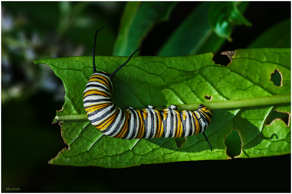 Monarch Larvae with the munchies