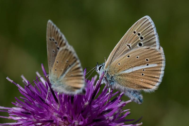 Stregblåfugl, Damon Blue (polyommatus damon)