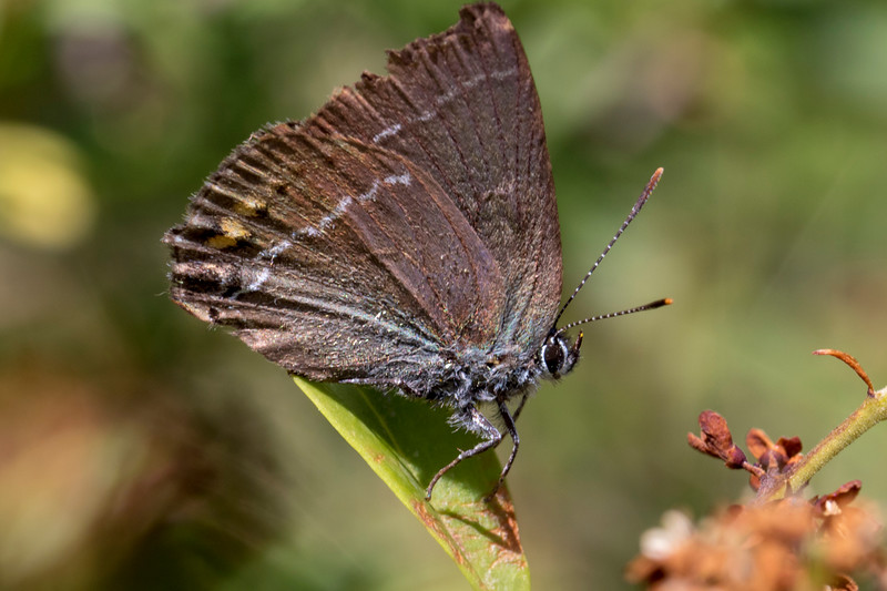 Vrietornsommerfugl, Blue spot hairstreak (satyrium spini)