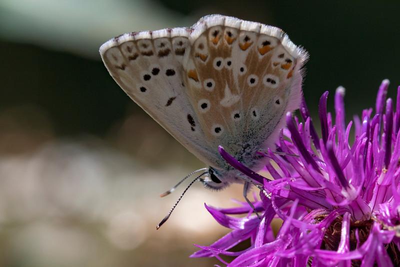 Sølvblåfugl, Chalkhill Blue (lysandra coridon)