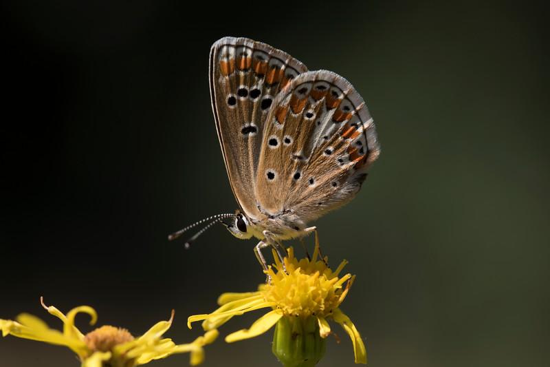 aricia agestis or artaxerxes allous/montensis?