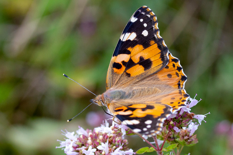 Tidselsommerfugl, Painted lady (Cynthia cardui)