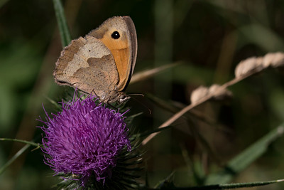 Engrandøje, Meadow Brown (maniola jurtina)