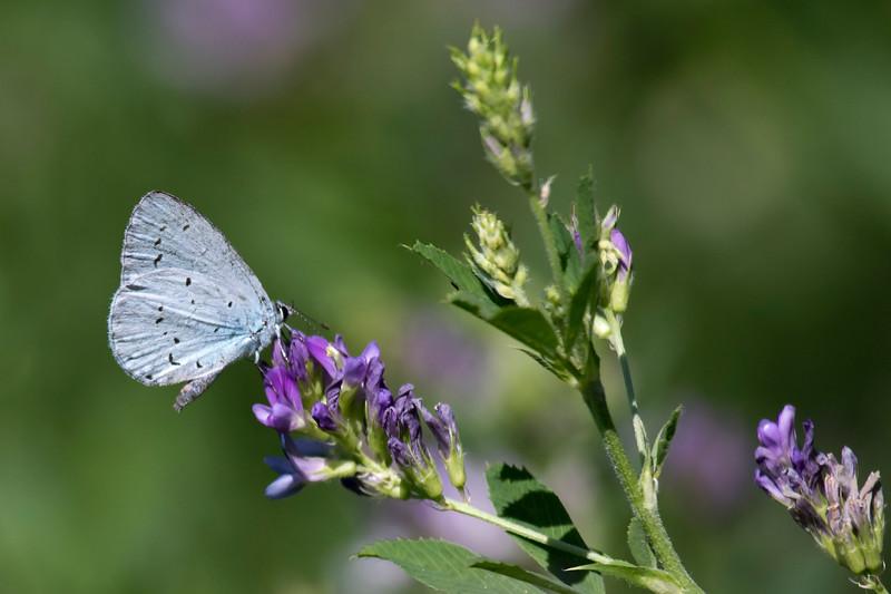 Skovblåfugl, Holly Blue (celastrina argiolus)