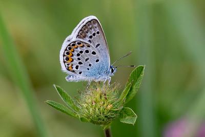 Argus-blåfugl, Silver-studded blue (Plebejus argus)
