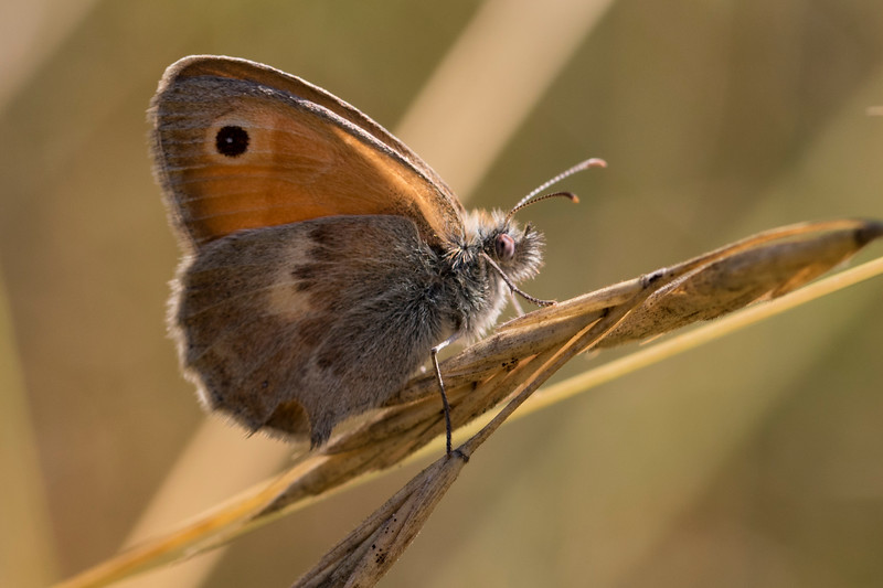 Okkergul randøje, Small Heath (coenonympha pamphilus)