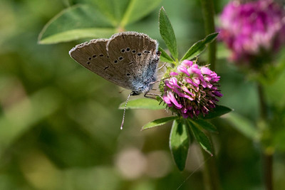 Engblåfugl, Mazarine blue (Polyommatus semiargus)
