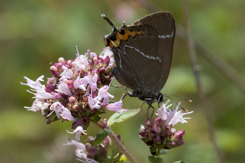 Det hvide W, White-letter hairstreak (Satyrium w-album)
