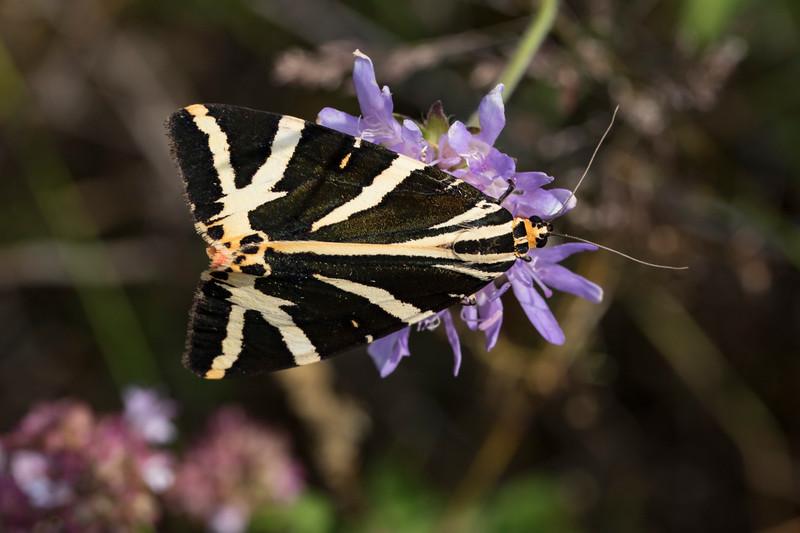 Jersey Tiger (callimorpha quadripunctaria)