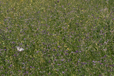 Sydeuropæisk svalehale, Scarce swallowtail (Iphiclides podalirius)  on lucerne field