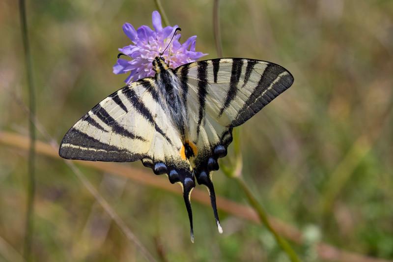 Sydeuropæisk svalehale, Scarce swallowtail (Iphiclides podalirius)