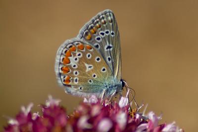 Almindelig blåfugl, Common Blue (polyommatus icarus)