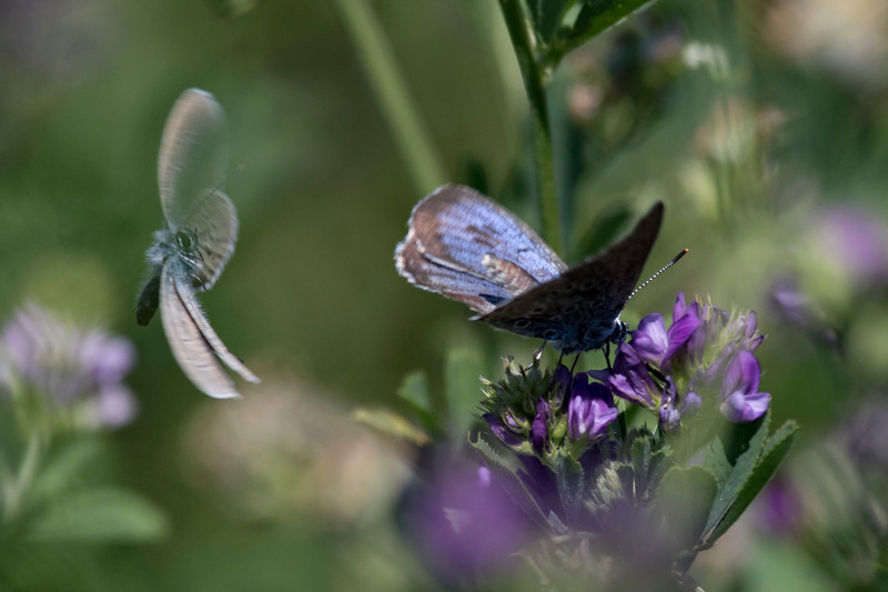Sortplettet blåfugl, Large Blue (maculinea arion)