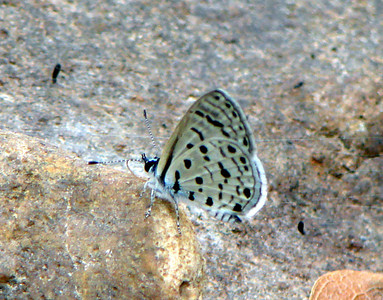 Azanus mirza (Pale Babul Blue) 630.