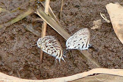 {left} Leptotes pirithous (Common Zebra Blue) 578 and {right} Azanus mirza (Pale Babul Blue) 630.