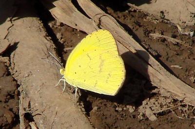 Eurema brigitta brigitta (Small Grass Yellow) 43.