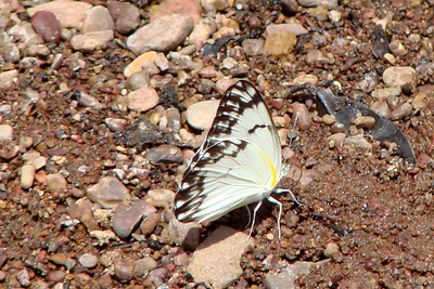 Belenois creona creona (African Caper White) male 69.