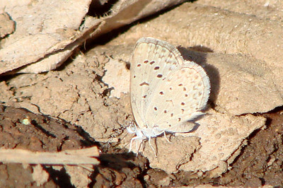 Zizeeria knysna (African Grass Blue) 635.