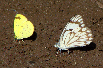 {left} Eurema hecabe solifera (Common Grass Yellow) 39 and {right} Belenois aurota (Caper White) 68.