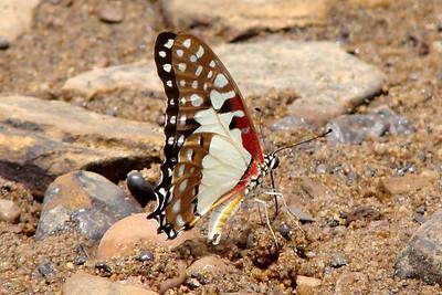 Graphium angolanus baronis (White Lady) 20