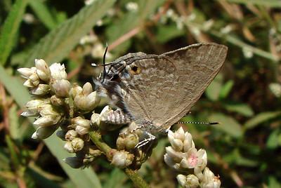 Deudorix antalus (Common Brown Playboy) 494.