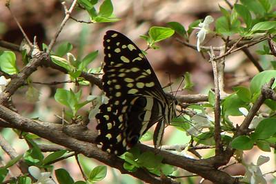 Papilio demodocus demodocus (Citrus Swallowtail) 13.