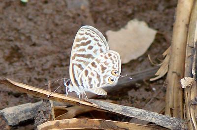 Leptotes pirithous (Common Zebra Blue) 578.