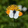Orange Tip - Aurora