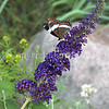 White Admiral Butterfly on Butterfly Bush