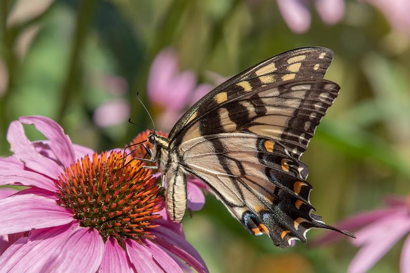 Butterfly E4A5797