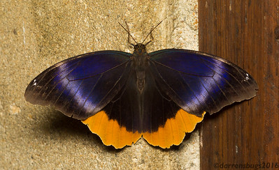 Golden-edged Owl-butterfly, Caligo uranus, from Belize.