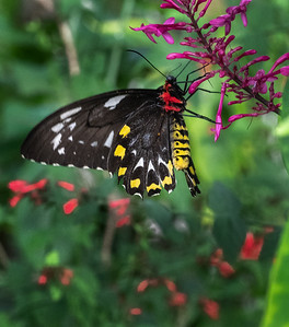 Female Cairns Birdwing