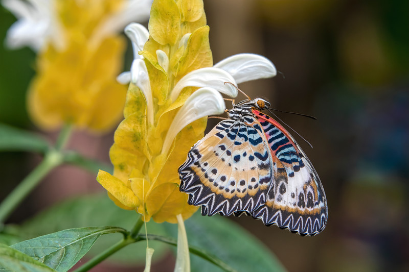 Butterfly 69A3743