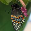 butterfly  511
