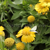 Cabbage White Butterfly on Yellow Gaillardia 2