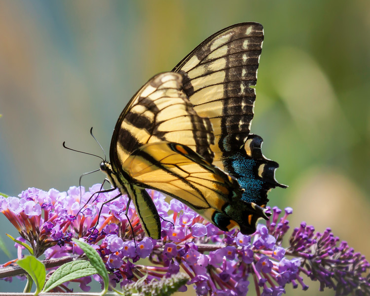 tiger swallowtail redone-6721